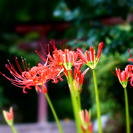 October: Red Spider lily